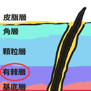 表皮構造_有棘層