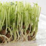 豆苗水耕栽培やり方や水の量、食べごろの判断、何回収穫できる?