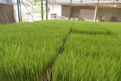 wheatgrass photo: