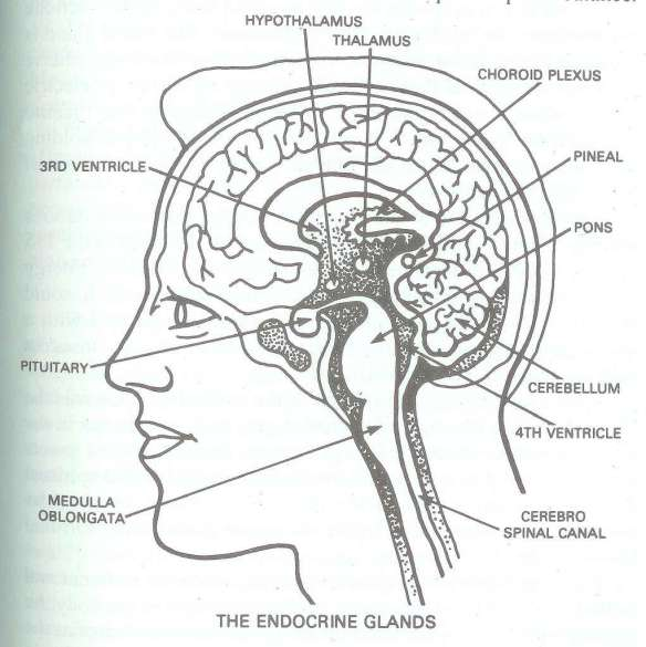 """Brain, Brainstem, Spinal Cord, Pineal and Pituitary Glands, and Ventricles where cerebrospinal fluid is produced and then distributed... our """"vision center"""" is in the back of the brain"""