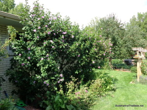 The Rose of Sharon and herb garden