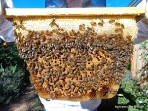 Comb with capped honey above the capped brood.