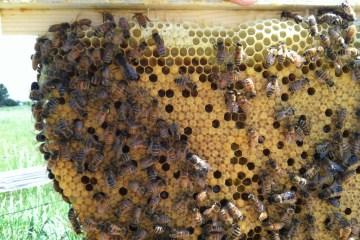 Nice brood pattern in Sarah's hive