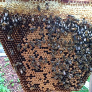Newly capped brood in HK