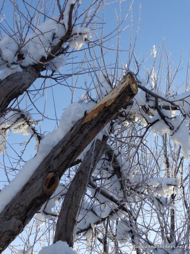 Broken branch on apple tree