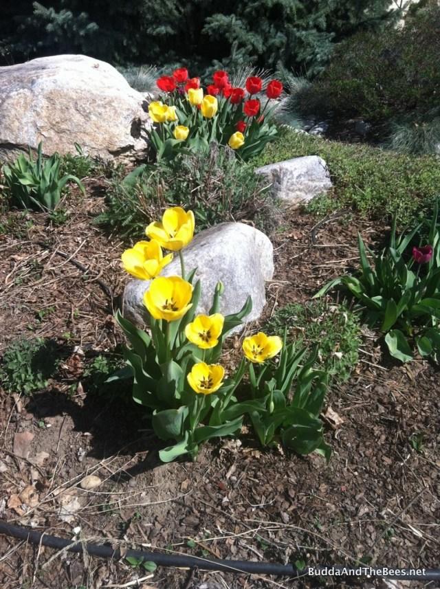 Tulips blooming on the corner garden