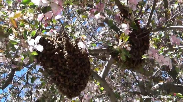 Swarm hanging out in the crab apple tree next door.
