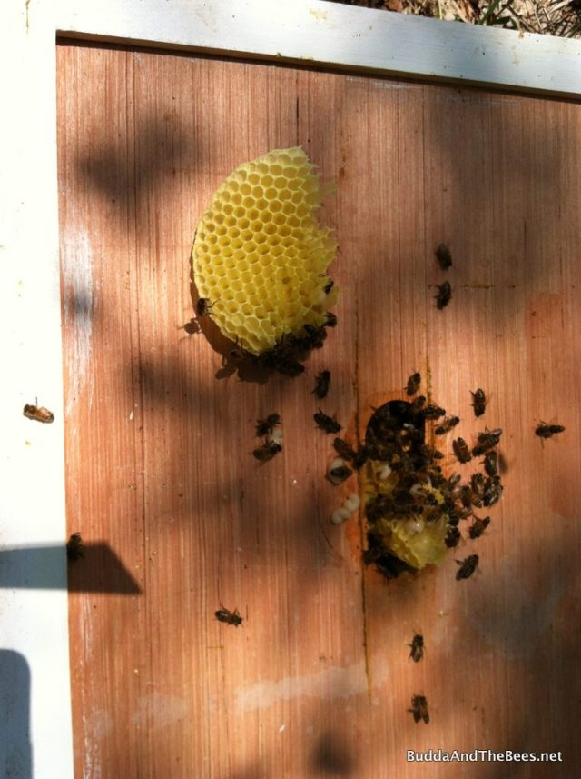 Comb from between feeders on Left Hand Hive