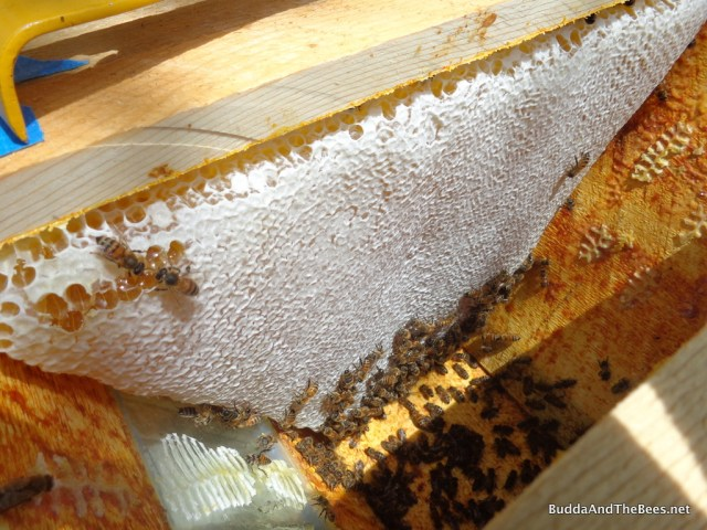 Capped honey in Sarah's hive