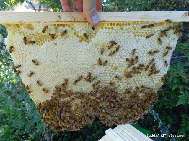 Nice capped honey - Laura's hive