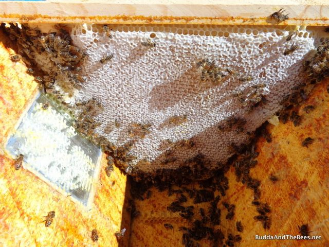 Nicely capped honey - Sarah's hive