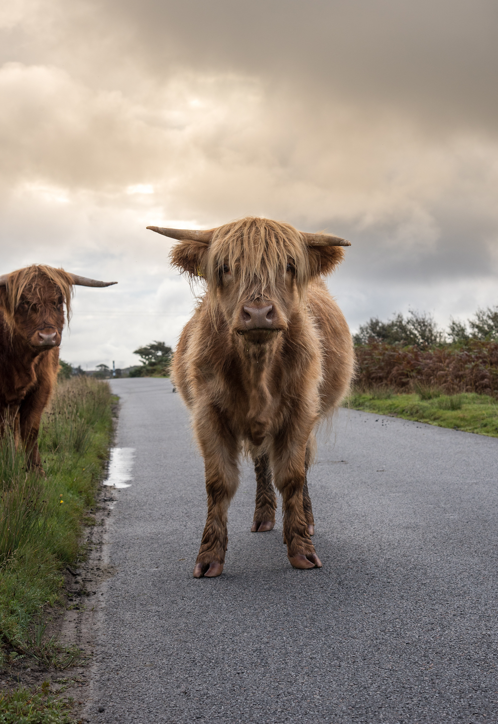 Isle-of-mull-scotland-shaggy-highland-cattle-craignure-finnophort-driving-heberdies-western-highlands-cute-cows-buddha-drinks-fanta-jenny-adams