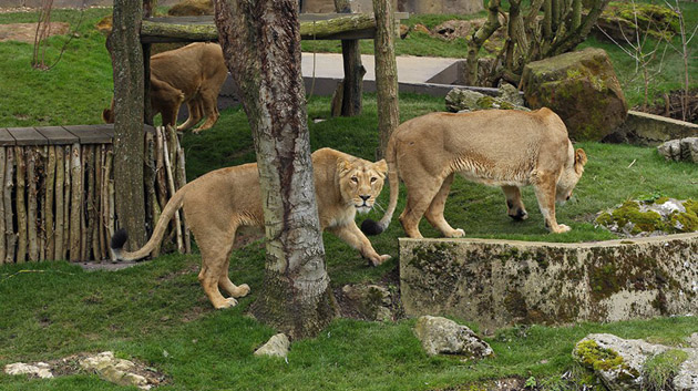 Land of the Lions - Gir Forest Replica in London