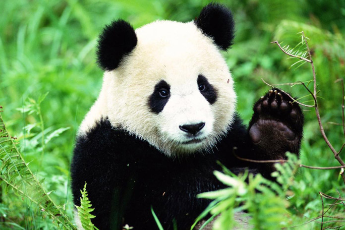 What does the Panda say