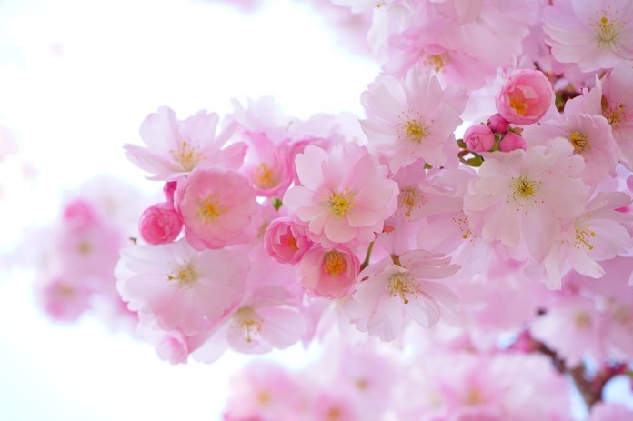 Japanese culture - Cherry blossom