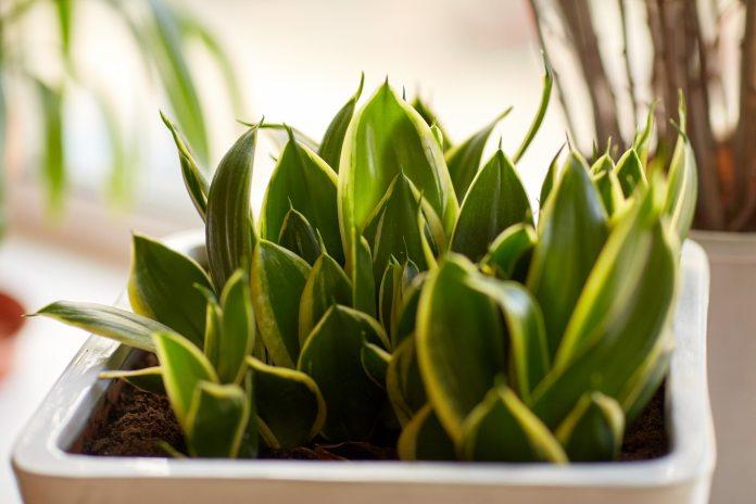 beautiful exotic sansevieria in flower pot indoors