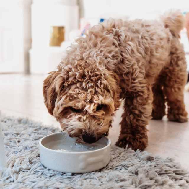 3 tips för att få hunden att dricka mer vatten!