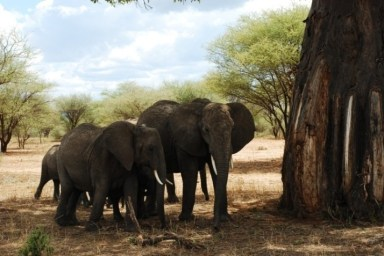 Groups of Elephants Under Baobab Trees is the Main Characteristic of Tarangire National Park