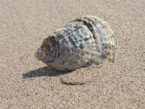 seashell-140746_640