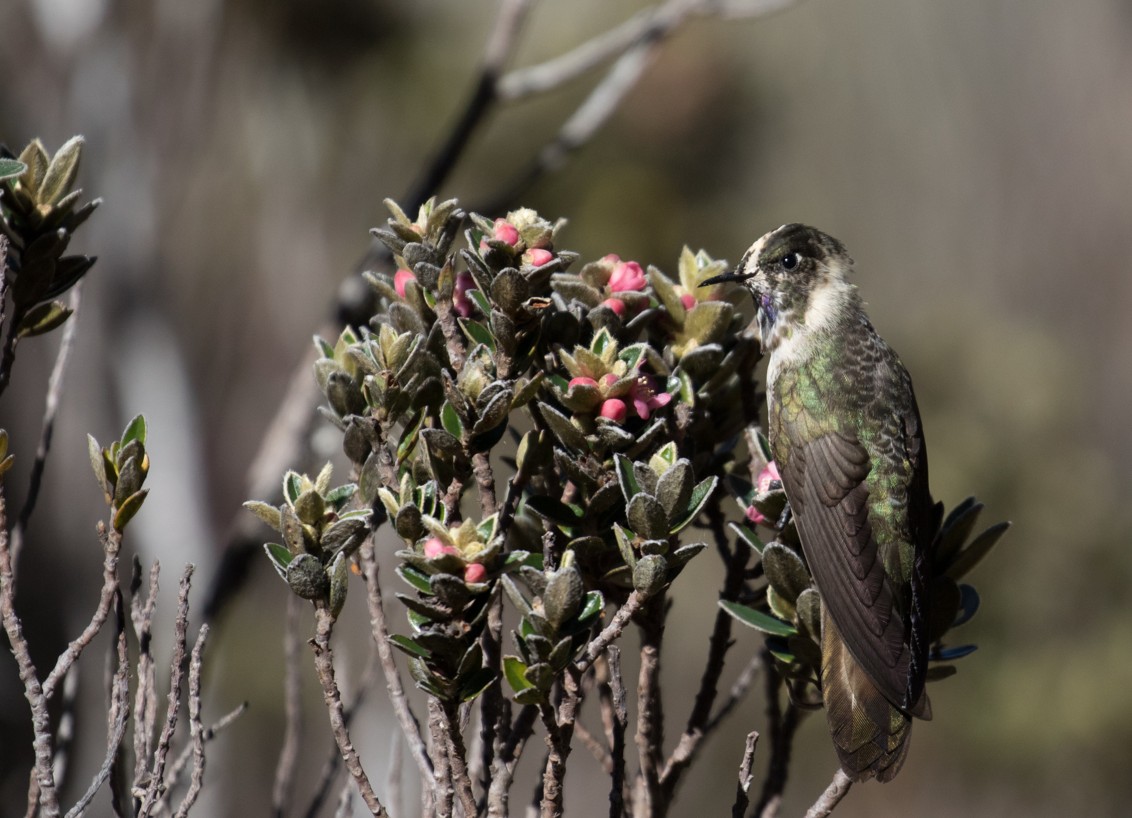 Oxypogon in the Sky: A Search for One of the World's Rarest Hummingbirds