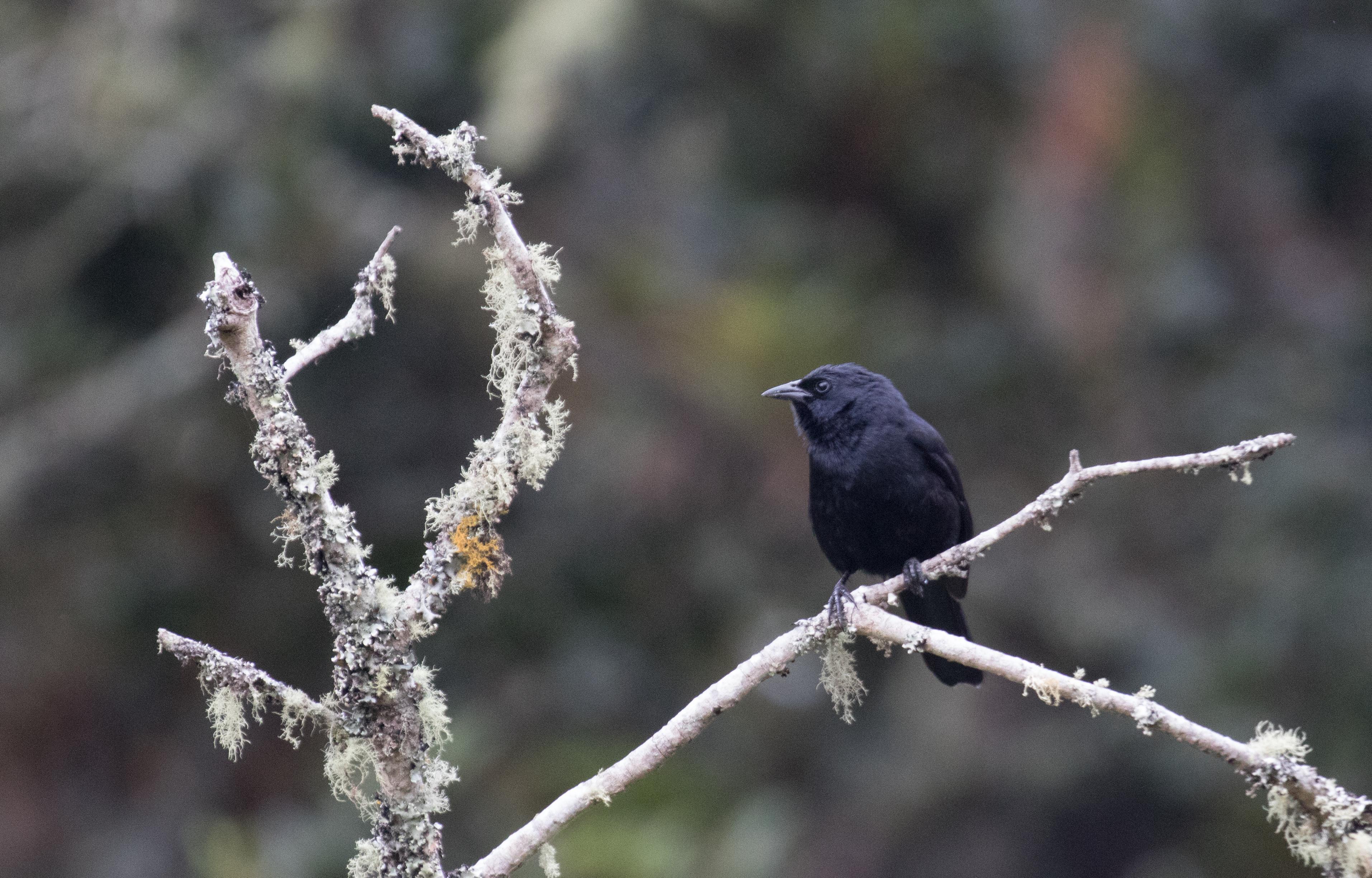 Birding Colombia: 4 days around Bogota and Soata