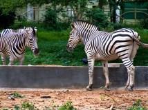Zebras At Mysore Zoo