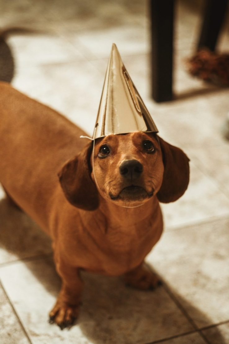 dachshund wearing party hat