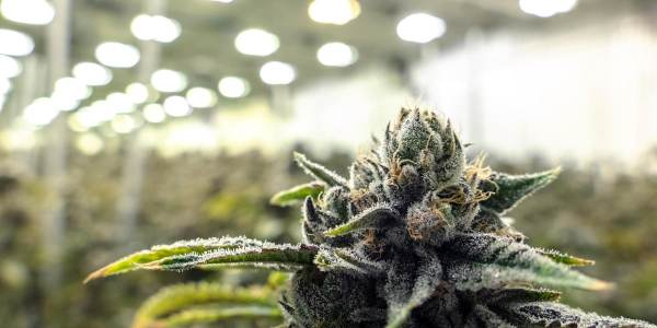 Where & How To Buy Weed Online In Canada?