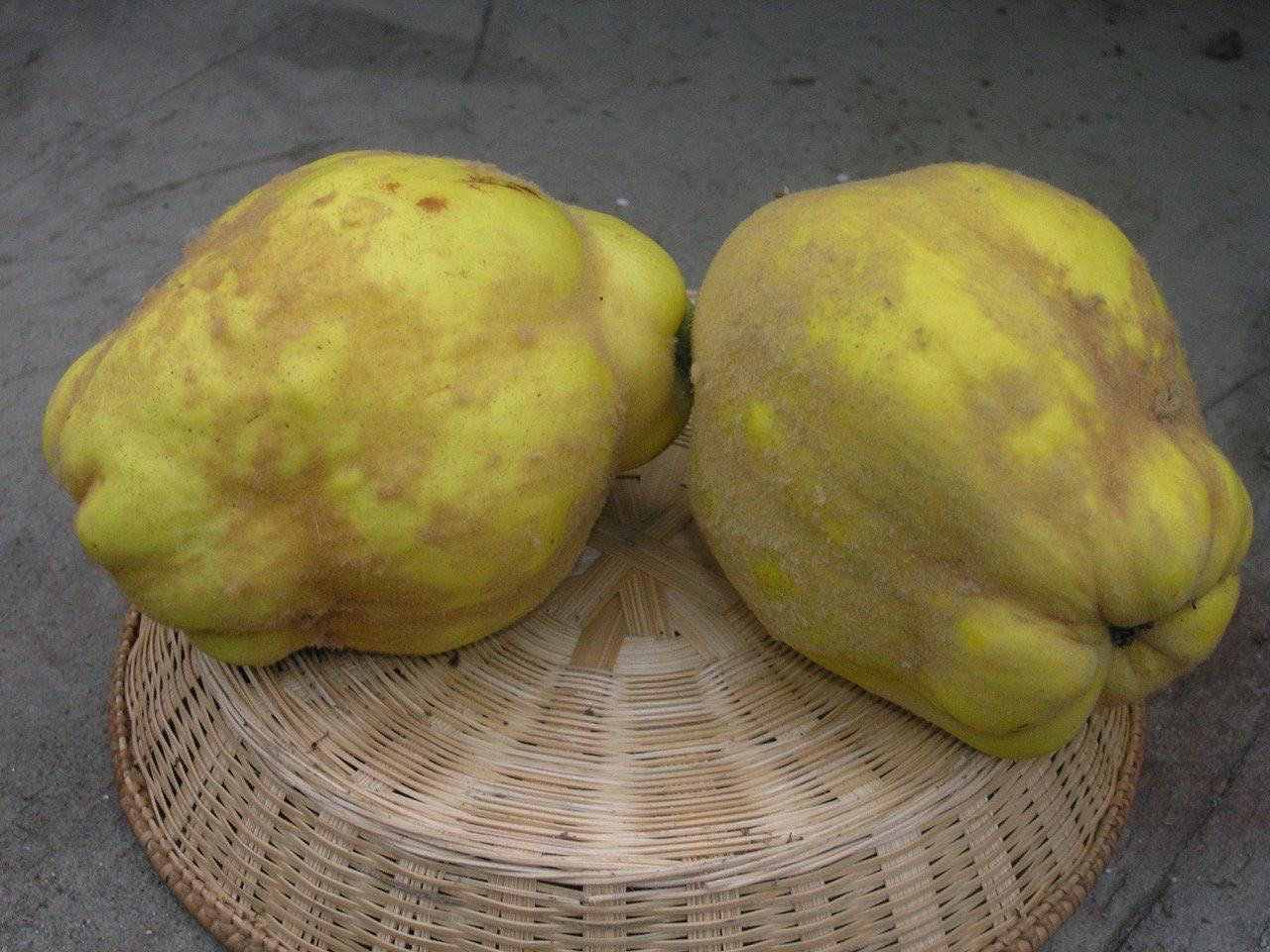 Cydonia Oblonga (cotogno)