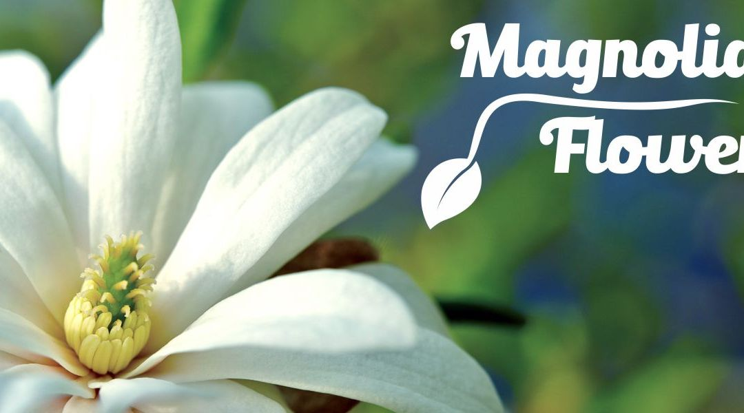 Multiple Benefits of Magnolia Flower Essential Oil