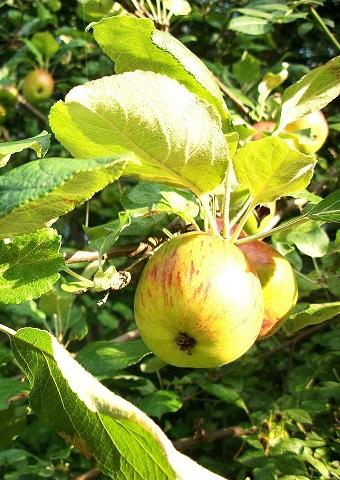 apple-71753_1280