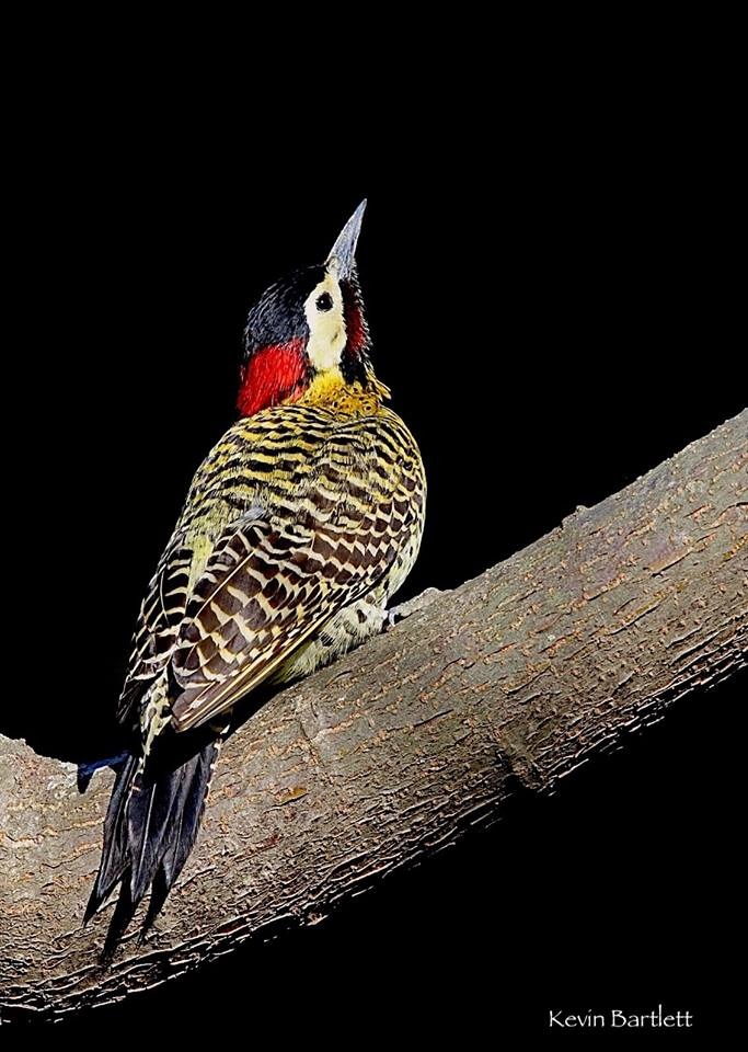 Green-barred Woodpecker, April.