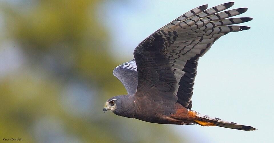Long-winged Harrier.