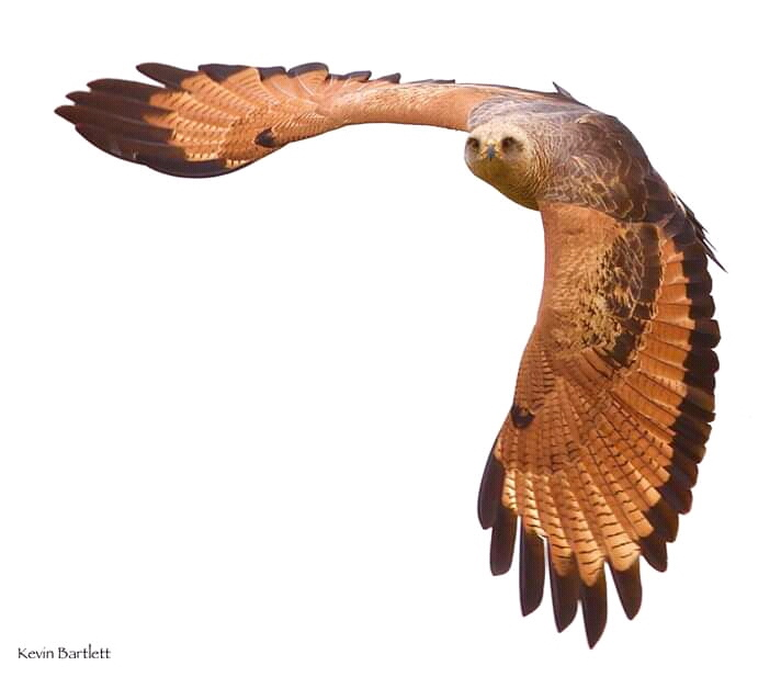 Savanna Hawk.