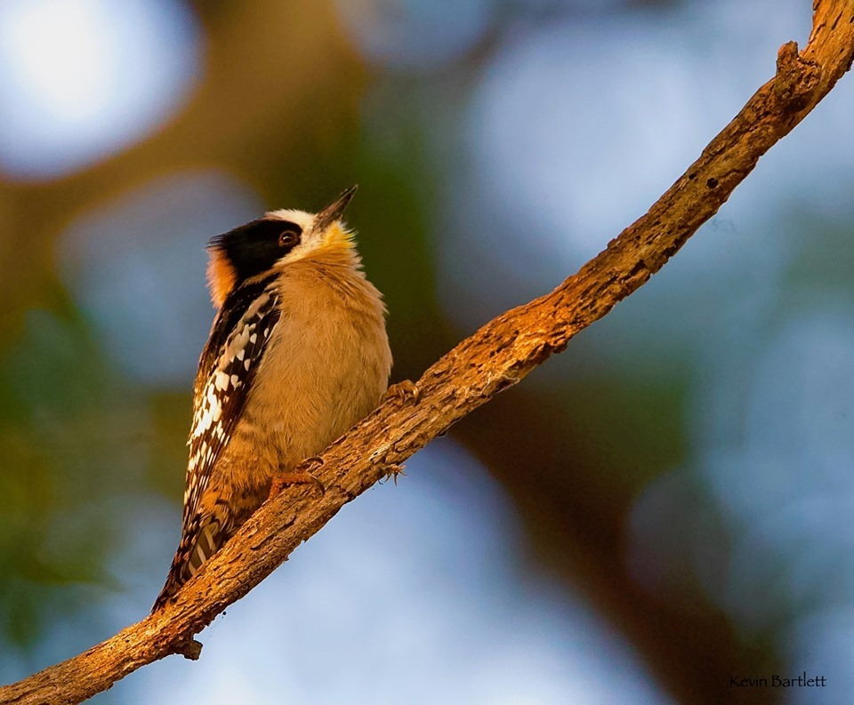 White-fronted Woodpecker.