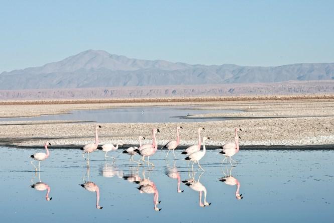 Laguna Chaxa Flamants San Pedro de Atacama