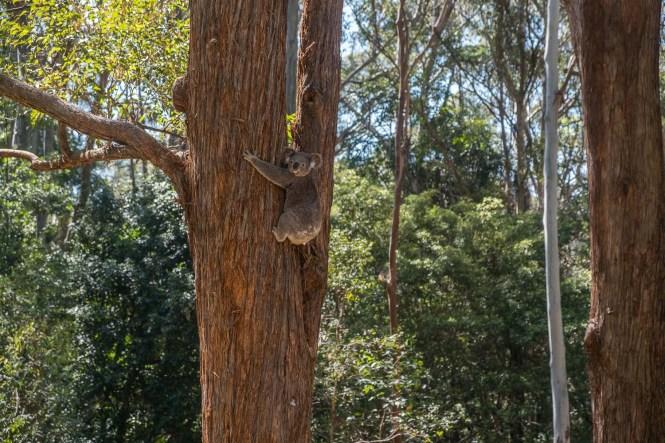 Port Macquarie koala
