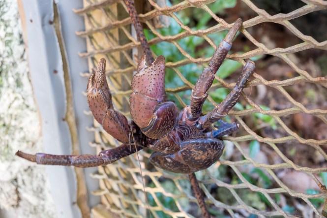 crabe-de-cocotier-Öni-Wael-vanilleraie-lifou