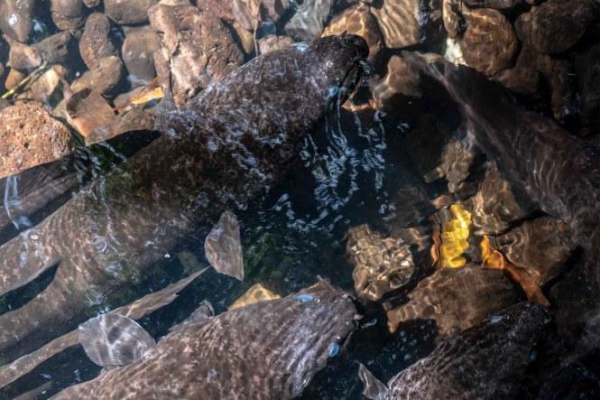 Anguilles-sacrées-yeux-bleus-Faie-huahine