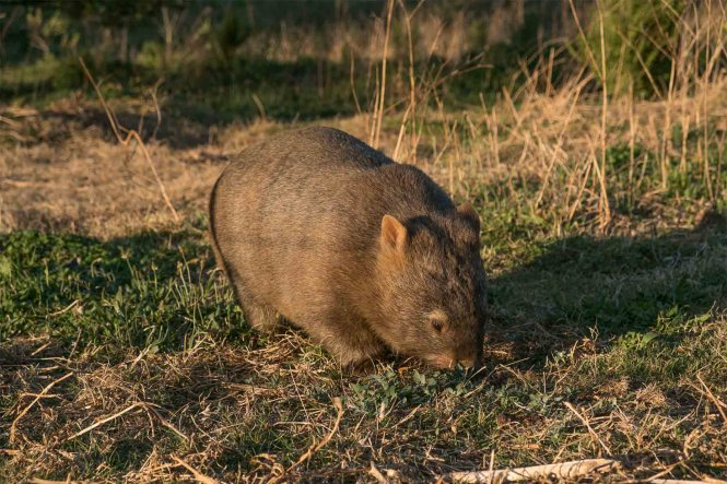 visa-australie-wombat