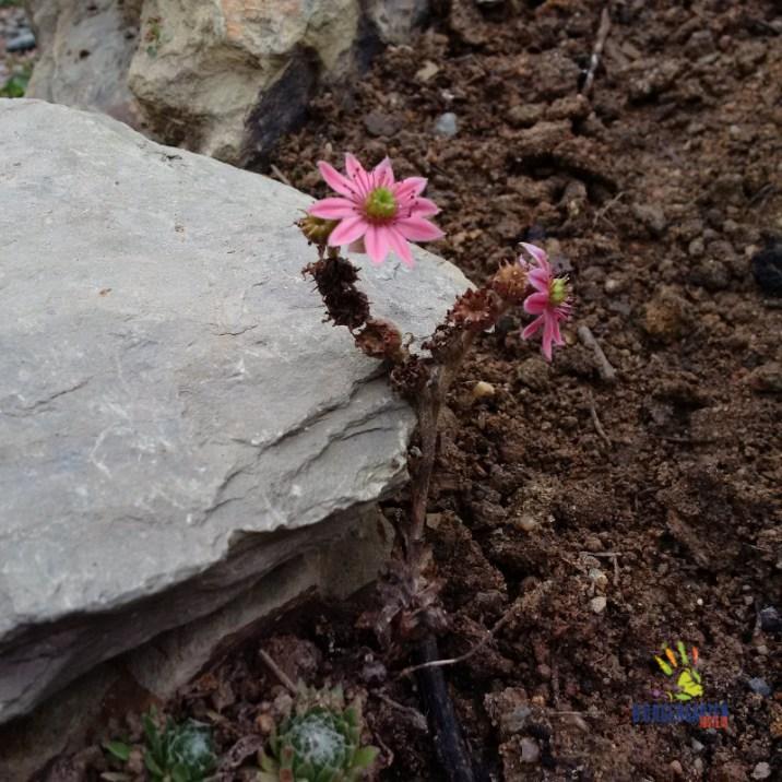 Die Novemberblüte der Dachwurz Sempervirens bietet letzte Wildbienennahrung.