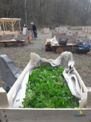 Auch im März gibt's Erntefrisches aus dem Bürgergarten: letzter Feldsalat des Winters