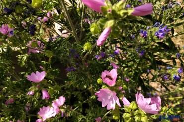 Auch Wild- und Honigbienen lieben die Moschusmalve, eine für uns wichtige Teepflanze.