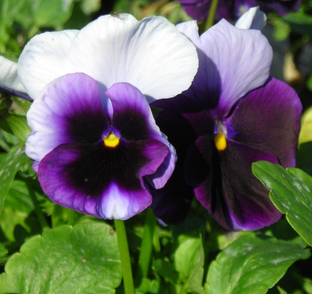 Flowers for outside right now  Pansies  More cool weather flowers     pansy in Buffalo