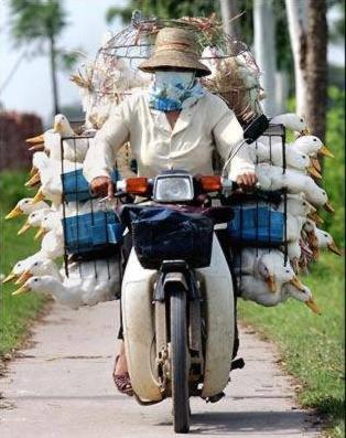 guy on bicycle with ducks