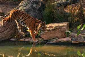 Read more about the article Big tale of two small Tiger reserves in Maharashtra