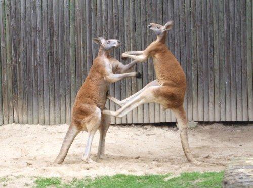 kiek varpų turi kengūra
