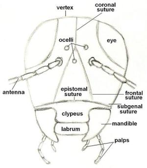 Diagram of an insect  front view of head  BugGuideNet
