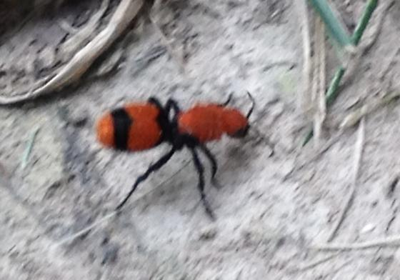 Large Ant Like Insect Ocypus Olens