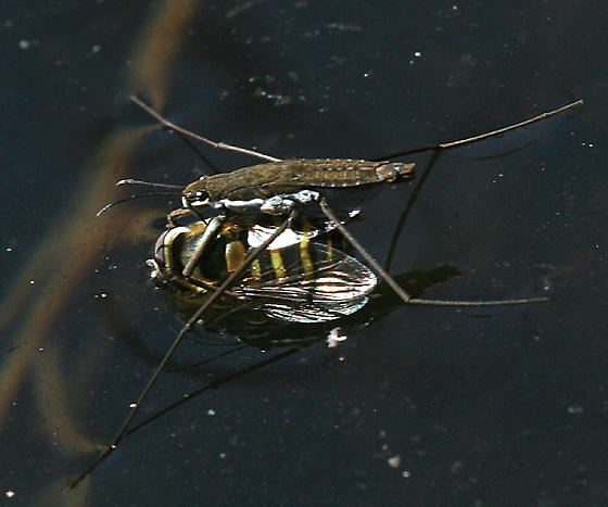 Water strider eating a fly, showing the raptorial limbs holding the fly in place